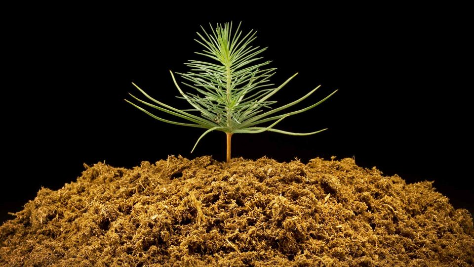 small pine seedling in pile of peat